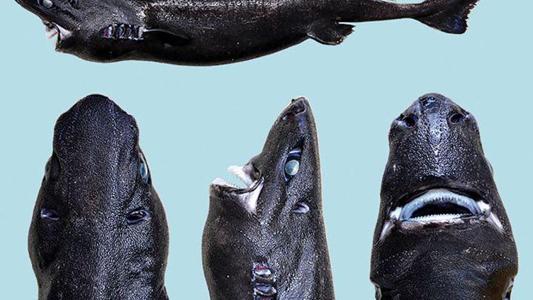 L'Etmopterus benchleyi, un requin à la peau noire et phosphorescente, découvert dans le Pacifique. (VICTORIA VASQUEZ / JOURNAL OF THE OCEAN SCIENCE FOUNDATION)