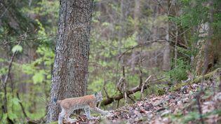Un lynx dans une forêt du Haut-Rhin, le 28 mars 2018. (BRUNO MATHIEU / BIOSPHOTO)