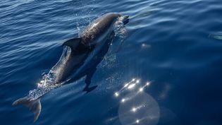Un dauphin en merMéditerranée près de La Ciotat, dans le sud de la France, le 23 juin 2020. (CHRISTOPHE SIMON / AFP)