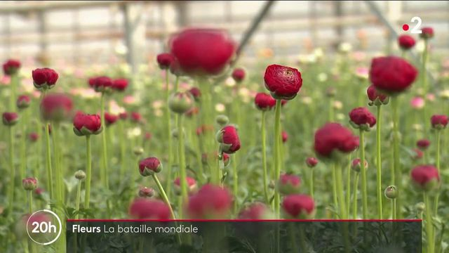 Production de fleurs : le bras de fer mondial en marche