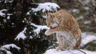 """Le Lynx boréal est l'une des trois espèces de grands prédateurs présentes en France métropolitaine. Il est placé en """"danger"""" en raison de sa population estimée à moins de 150 individus adultes. (CHARLES METZ / AFP)"""