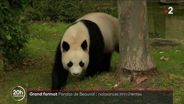 Zoo de Beauval : deux bébés pandas vont bientôt voir le jour