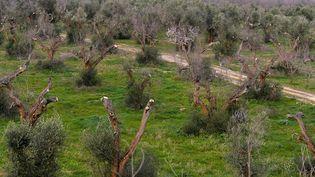 La bactérie xylella fastidiosa ravage les oliviers en très peu de temps. (TIZIANA FABI / AFP)