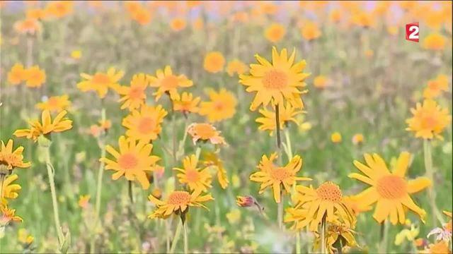 Plantes : arnica, l'or des Vosges