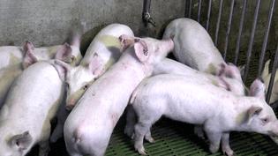 ENVOYÉ SPÉCIAL / FRANCE 2.Dernière l'étiquette AOP du jambon de Parme, des cochons stressés qui se mangeraient entre eux (ENVOYÉ SPÉCIAL  / FRANCE 2)