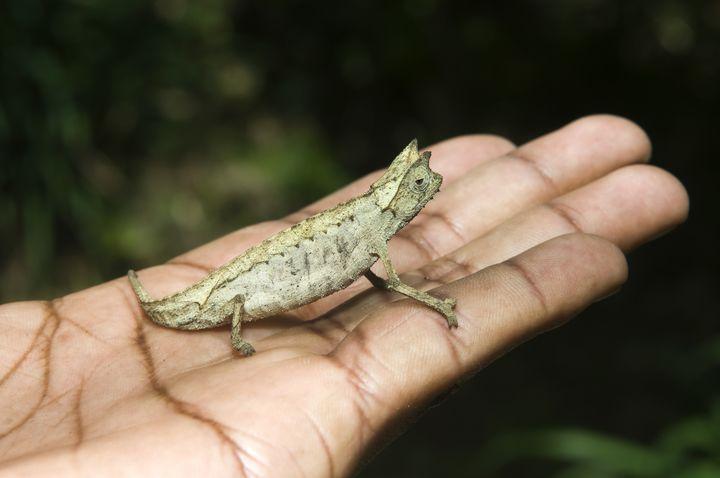 "Un caméléon ""Brookesia Minima"", à Madagascar, en 2015. (GABRIELLE & MICHEL THERIN-WEISE / ROBERT HARDING PREMIUM)"