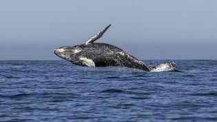 Une baleine à bosse dans l'océan Pacifique, au large de la ville de Los Cabos (Mexique), le 14 mars 2018. (FERNANDO CASTILLO / AFP)