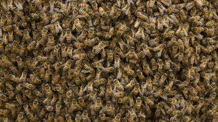 Des abeilles dans le parc national deMachalilla, en Equateur, le 22 août 2014. (PETE OXFORD / MINDEN PICTURES / AFP)