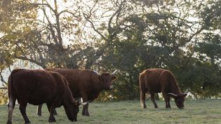 Un élevage de vaches Salers en plein air. (CHRISTIAN WATIER / MAXPPP)