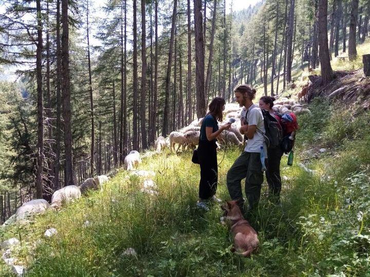 Letroupeau de brebis de Marianne et Paul,sur les hauteurs dePrads dans les Alpes-de-Haute-Provence, mardi 28 juillet. (MATHILDE VINCENEUX / RADIO FRANCE)