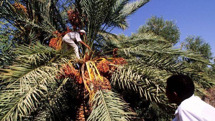 Récolte de dattes en Egypte.  (MUNOZ YAGUE-FIORI / HEMIS.FR / HEMIS)