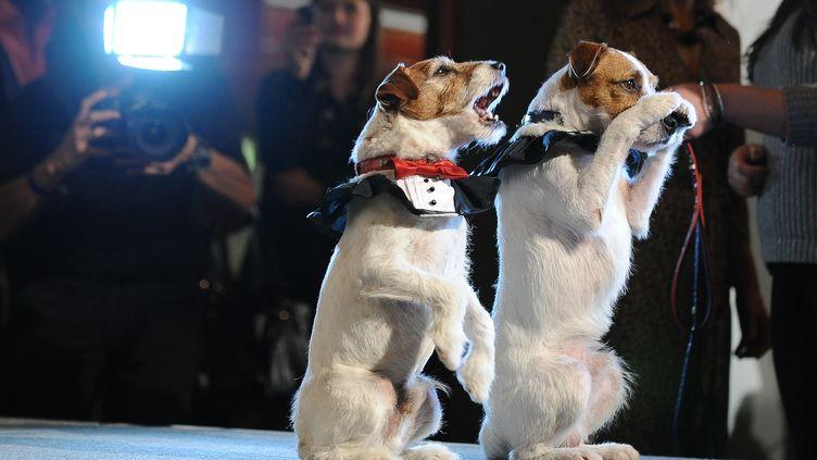 """Uggie, le chien de """"The Artist"""", et sa doublure Dash au Golden Collar Awards, à Los Angeles (Californie, Etats-Unis) le 13 février 2012. (ROBYN BECK / AFP)"""
