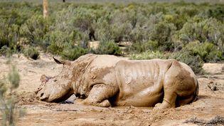 Un rhinocéros blessé, dont la corne a été coupée, à Cape Town (Afrique du Sud), le 22 août 2011. (RODGER BOSCH / AFP)