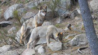 Un loup dans un parc animalier dans les Pyrénées-Orientales, en mars 2019. (MICHEL CLEMENTZ / MAXPPP)