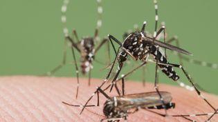Des moustiques tigres en Espagne,photographiés le 21 janvier 2014. (ROGER ERITJA / BIOSPHOTO / AFP)