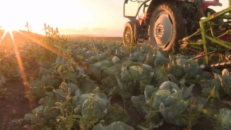 La récolte du chou bat son plein depuis la mi-août en Alsace. France 3 vous emmène chez un agriculteur adepte de la culture biologique du légume à Illhaeusern, dans le Haut-Rhin.  (France 3)