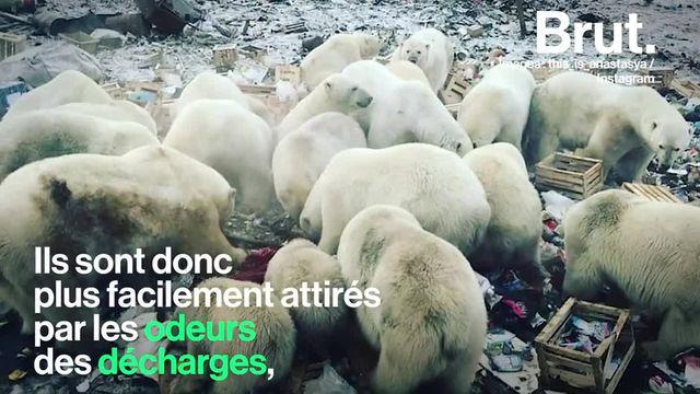Ce samedi 9 février, l'état d'urgence a été décrété à la Nouvelle-Zemble. L'archipel russe est confronté à la venue intempestive d'ours blancs près des villes.
