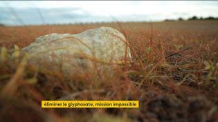 Un champ traité au glyphosate (FRANCEINFO)