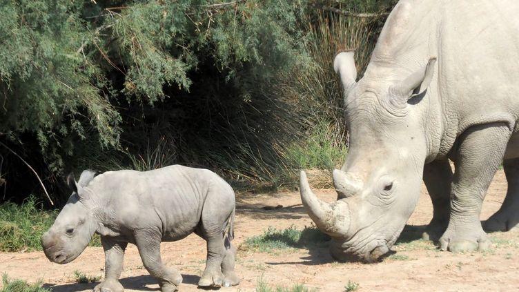 Un rhinocéros et son petit, le 21 septembre 2018 àSigean (Aude). (RAYMOND ROIG / AFP)