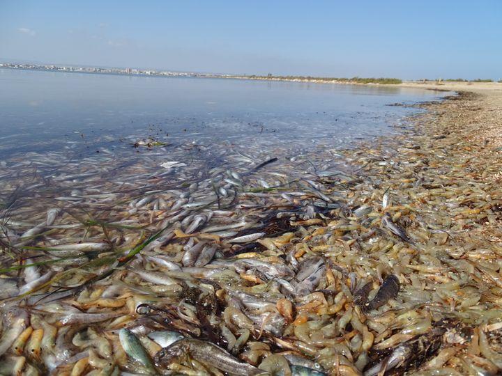 Des poissons morts dans la Mar Menor, en Espagne, le 13 octobre 2019. (ANSE)