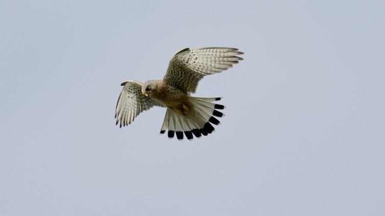 Un faucon crécerelle, photographié en juin 2008, à Honfleur (Calvados). (CHRISTIAN PUYGRENIER / PUY / AFP)