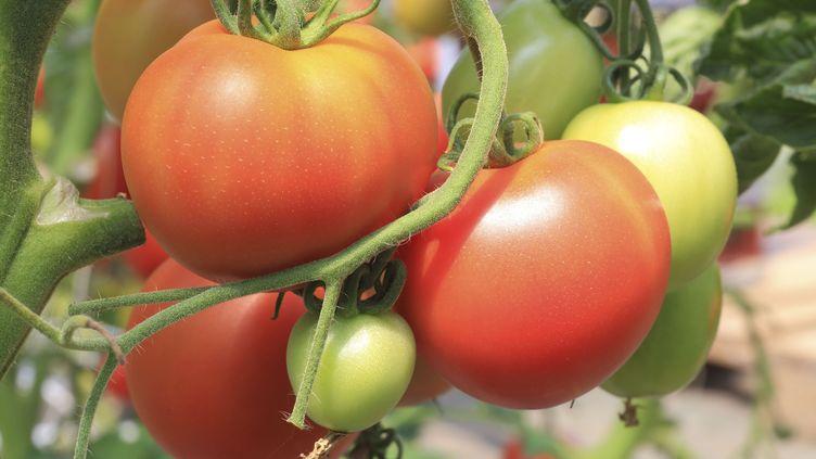 """Illustration. Le """"tomato brown rugose fruit virus""""déforme les feuilles, tâche les fleurs et rend les fruits inconsommables. (MAISANT LUDOVIC / HEMIS.FR / HEMIS.FR)"""