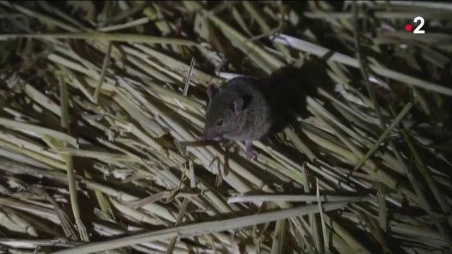 Australie : les fermiers envahis par des millions de souris
