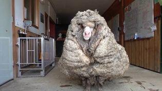 Baarack, un mouton sauvage, a été retrouvé dans une forêt australienne. Il s'était égaré il y a cinq ans et portait 35 kilos de laine. (France 3)