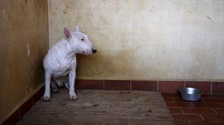 Un Bull Terrier blanc, semblable à celui-ci, est mort de la rage, dans la Loire, le 17 mai 2015. (  MAXPPP)