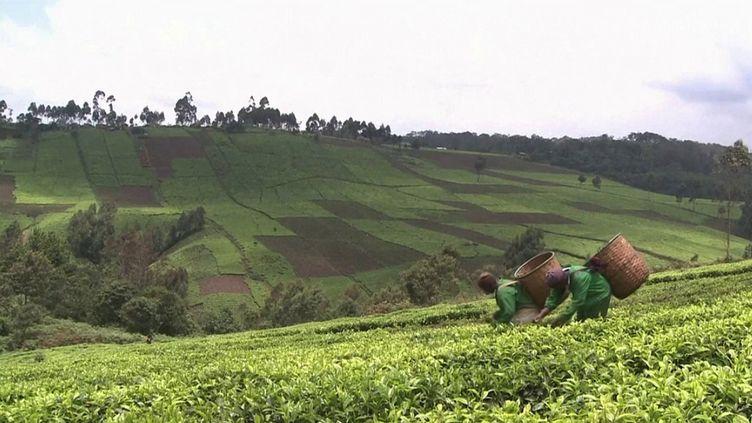 Face aux températures record, la culture duthéest en danger, en Afrique comme en Asie. (CAPTURE ECRAN FRANCE 3)
