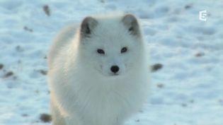 Un renard polaire dans le nord du Canada, en 2016. (FRANCE 5)