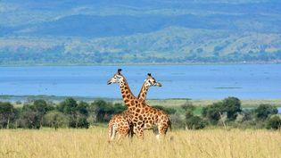 Des girafes dans la savane en Ouganda, le 1er décembre 2016. (ANTOINE LORGNIER / BIOSPHOTO / AFP)