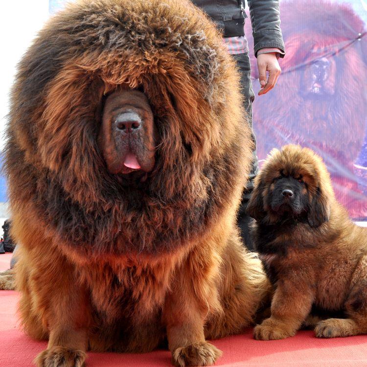 Deux mastiffs du Tibet sont exposés lors d'une foire à Handan (Chine), le 23 mars 2013. (HAO QUNYING / IMAGINECHINA / AFP)