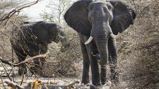Dans la province namibienne de Kavango, le parc national de Bwabwata, l'éléphant de brousse africaine. (LEROY FRANCIS / HEMIS.FR / HEMIS.FR)