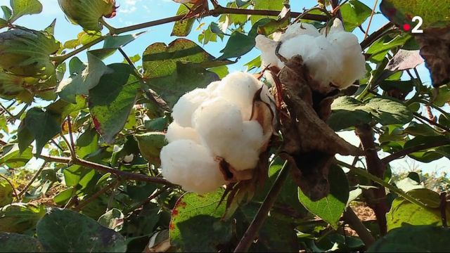 Agriculture : à la découverte du coton du Gers