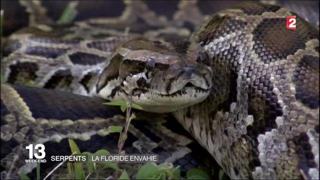 Floride : les habitants se mobilisent contre une invasion de pythons
