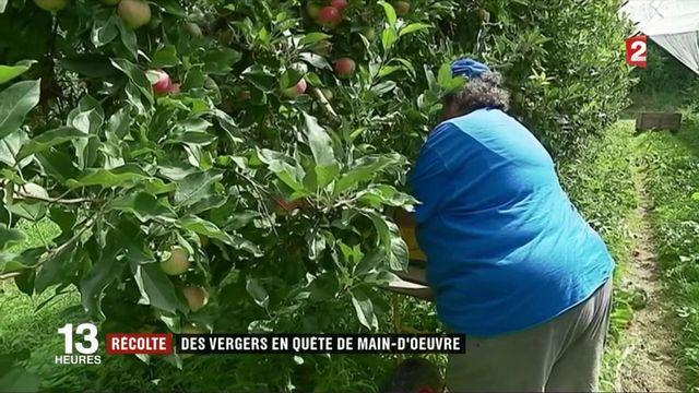 Cueillette de pommes : les saisonniers manquent à l'appel