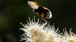 Le bourdon, insecte pollinisateur, est menacé par lethiaméthoxame,un pesticide néonicotinoïde. (YURI KADOBNOV / AFP)