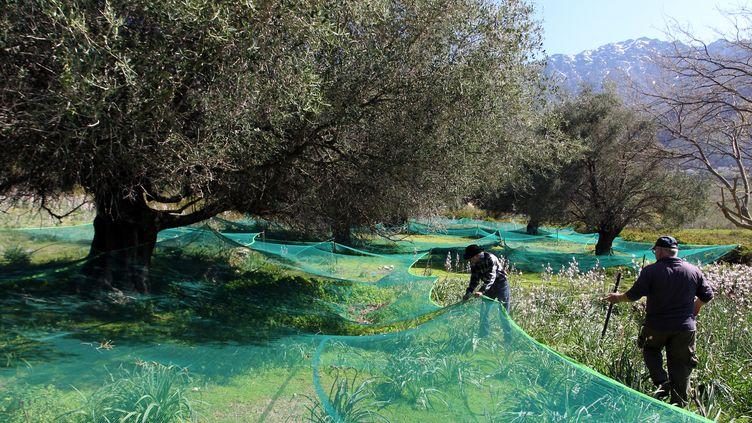 La récolte des olives dans une exploitation de Feliceto (Haute-Corse), le 8 avril 2015. (PASCAL POCHARD-CASABIANCA / AFP)