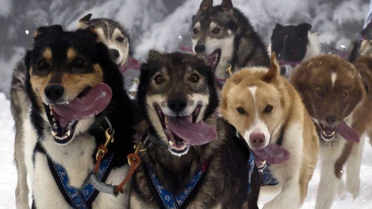 Des chiens de traîneaux en plein effort près de Praz-sur-Arly (Haute-Savoie), en janvier 2011. (JEAN-PHILIPPE KSIAZEK / AFP)