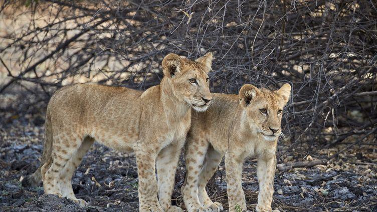 Deux lionceaux dans la réserve de Selous en Tanzanie. Le 9 août 2016. (AFP -JAMES HAGER / ROBERT HARDING PREMIUM)
