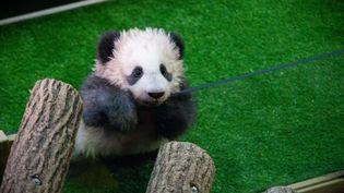 DECEMBRE. Yuan Meng, le bébé panda du Zoo de Beauval (Loir-et-Cher), le 4 décembre 2017. (VINCENT LOISON / SIPA)