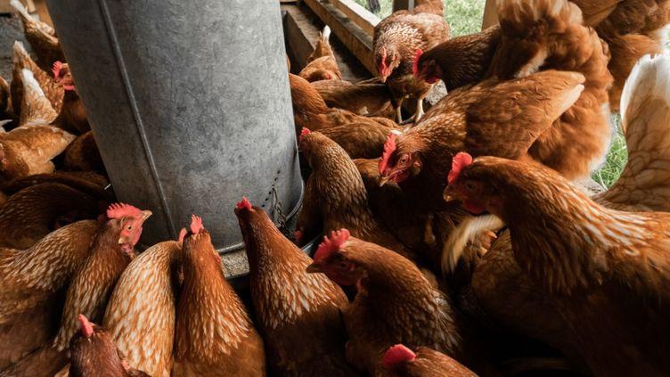 Poules mangeant du grain dans des silos, France, 23 avril 2020. (XEUHMA / HANS LUCAS)