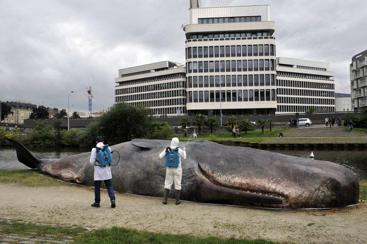 Le cachalot s'était déjà échoué à Rennes en juillet 2016  (Hélène Lompech/ PHOTOPQR/OUEST FRANCE/MAXPPP)