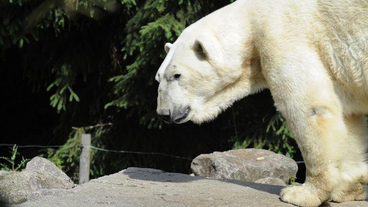 Un ours polaire au zoo d'Amnéville (Moselle), le 5 juin 2012. (JEAN-CHRISTOPHE VERHAEGEN / AFP)