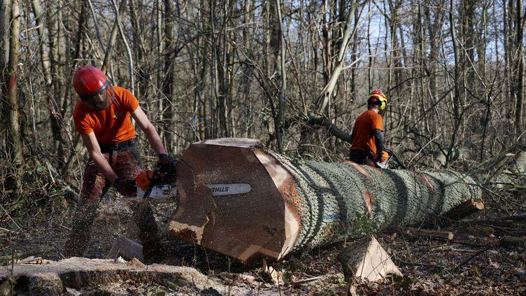 Abattage d'un chêne en forêt de Meudon, le 11 mars 2021. (JEAN-BAPTISTE QUENTIN / MAXPPP)