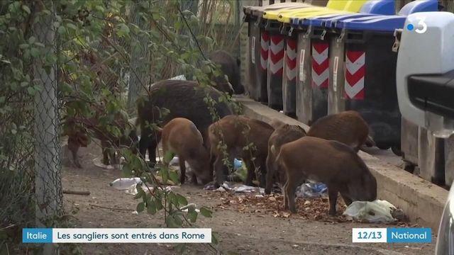 Italie : le ras-le-bol des habitants de Rome face à l'invasion de sangliers dans la ville