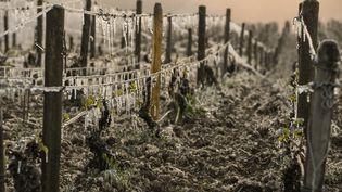Un vignoble frappé par une vague de gel à Chablis (Yonne), le 21 avril 2017. (PHILIPPE DESMAZES / AFP)