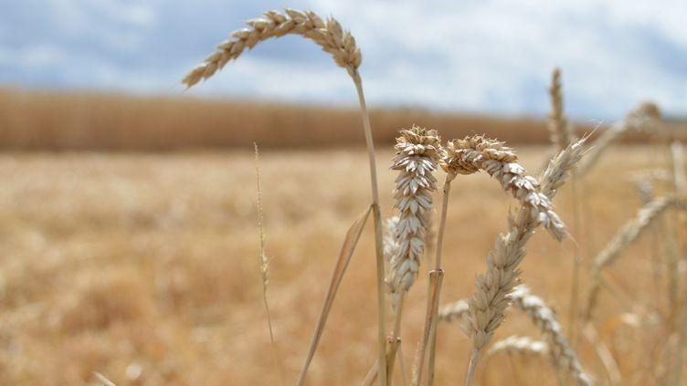 Un champ de blé en Moselle avant le début des moissons. (VICTOR VASSEUR / RADIOFRANCE)
