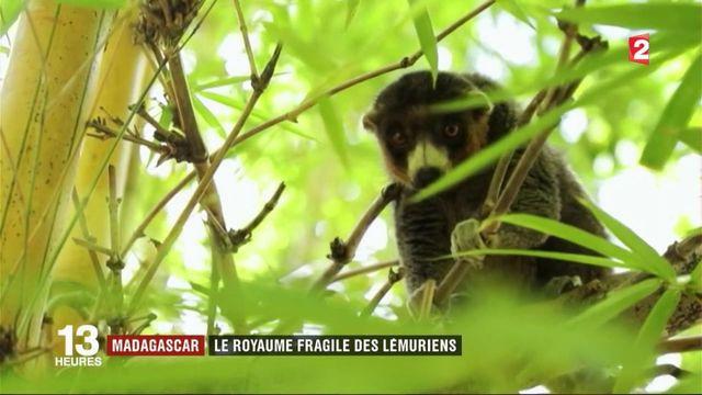 Madagascar : le royaume des lémuriens fragilisé par la déforestation